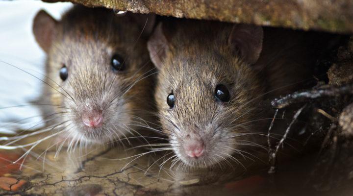 Muizenbestrijding en Rattenbestrijding