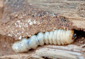 Houtwormbestrijding