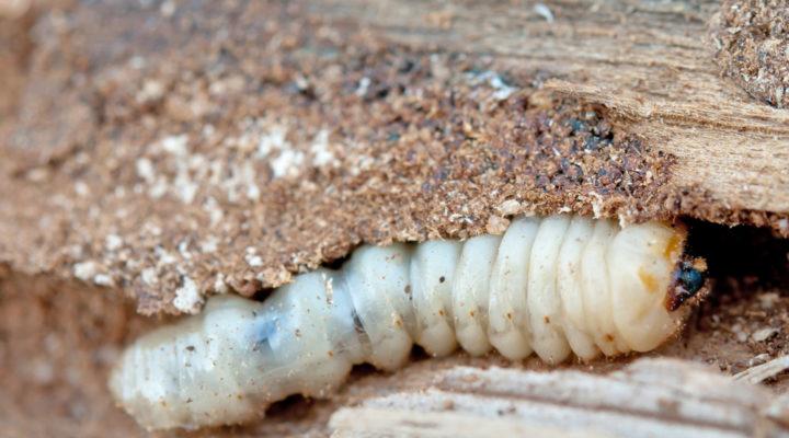 Houtworm bestrijden